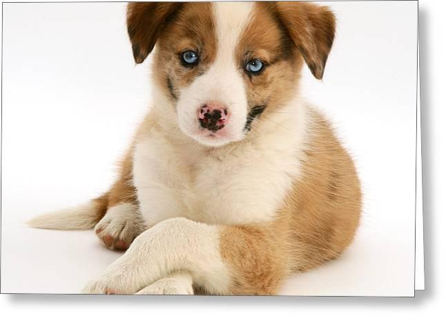 Border Collie Puppy Greeting Card by Jane Burton