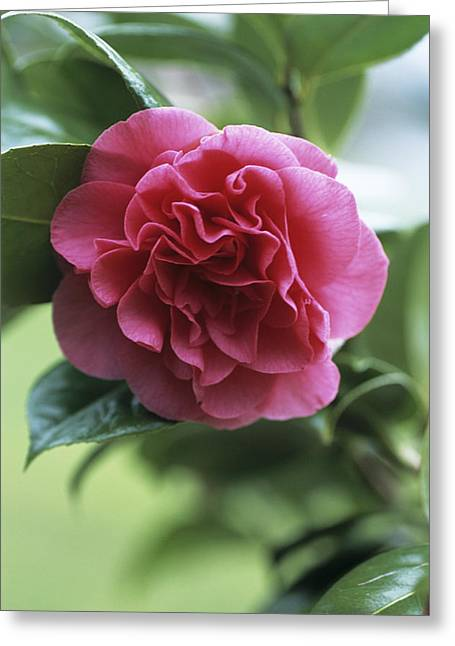 Tomorrow Greeting Cards - Camellia Flower Greeting Card by Adrian Thomas