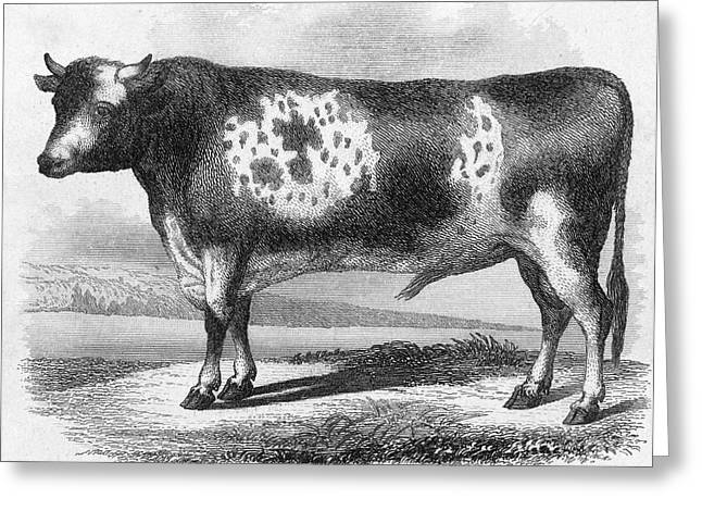 19th Century America Photographs Greeting Cards - CATTLE, 19th CENTURY Greeting Card by Granger