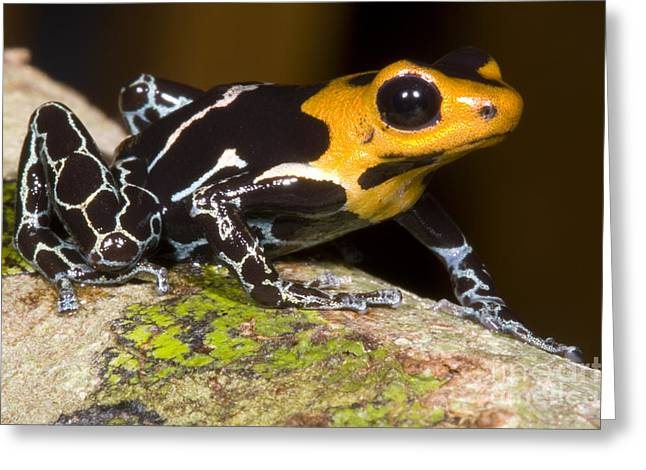 Bromeliad Greeting Cards - Crowned Poison Frog Greeting Card by Dante Fenolio