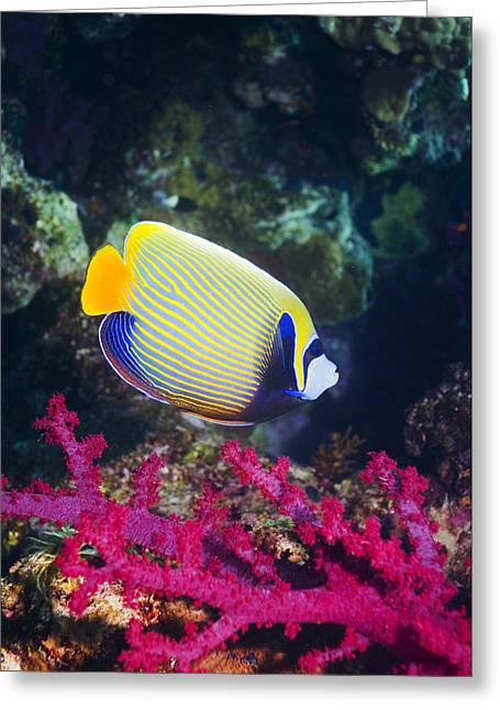 Zoology Greeting Cards - Emperor Angelfish Greeting Card by Georgette Douwma
