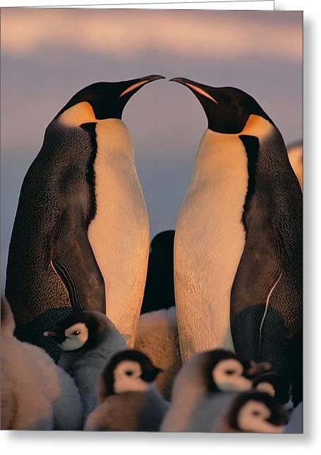 Emoting Greeting Cards - Emperor Penguin Aptenodytes Forsteri Greeting Card by Konrad Wothe