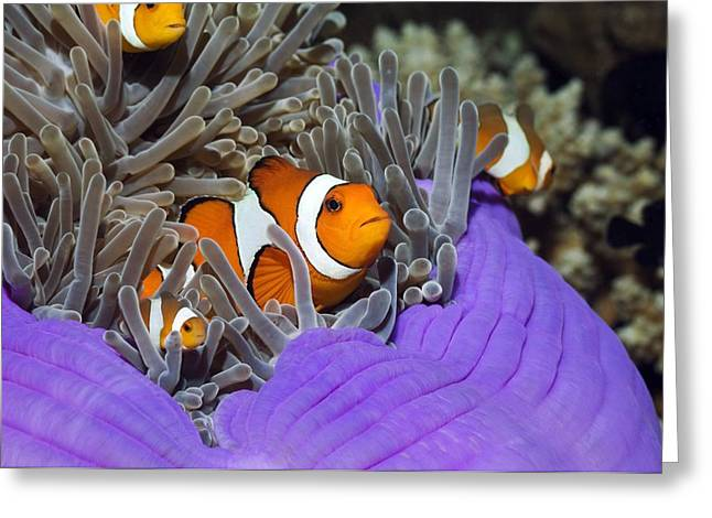 Aquatic Greeting Cards - False Clown Anemonefish Greeting Card by Georgette Douwma