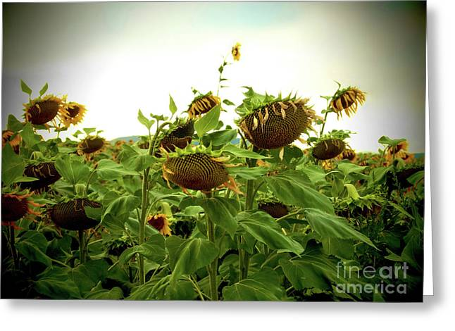 Cultivation Greeting Cards - Field of sunflowers Greeting Card by Bernard Jaubert
