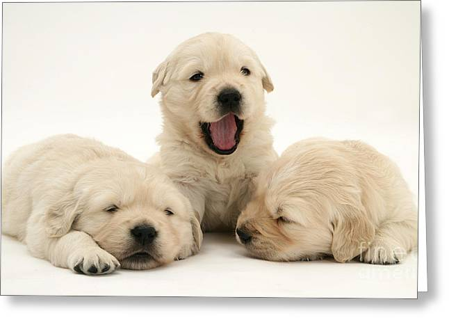 Bred Greeting Cards - Golden Retriever Puppies Greeting Card by Jane Burton