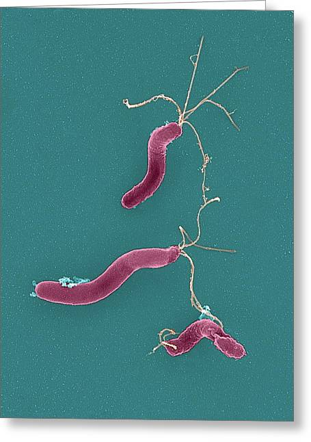 Bacteriological Greeting Cards - Helicobacter Pylori Bacteria, Sem Greeting Card by