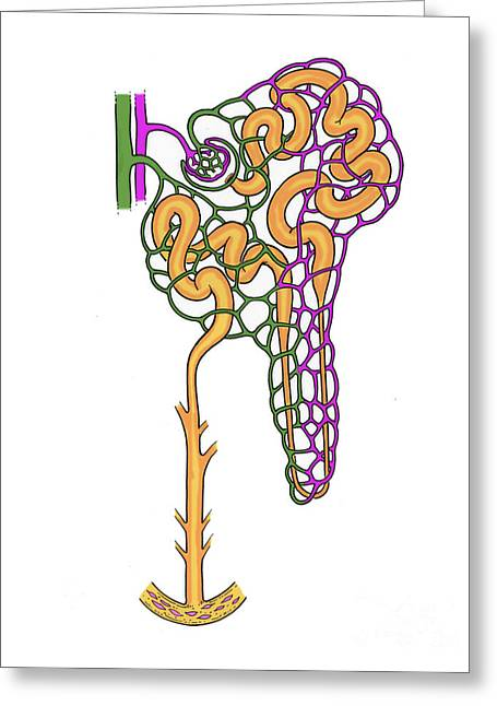 Tubules Greeting Cards - Illustration Of Nephron Greeting Card by Science Source