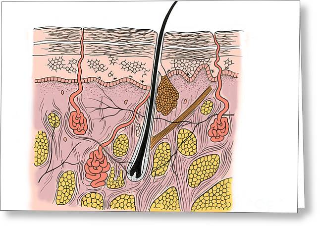 Sweat Greeting Cards - Illustration Of Skin Section Greeting Card by Science Source