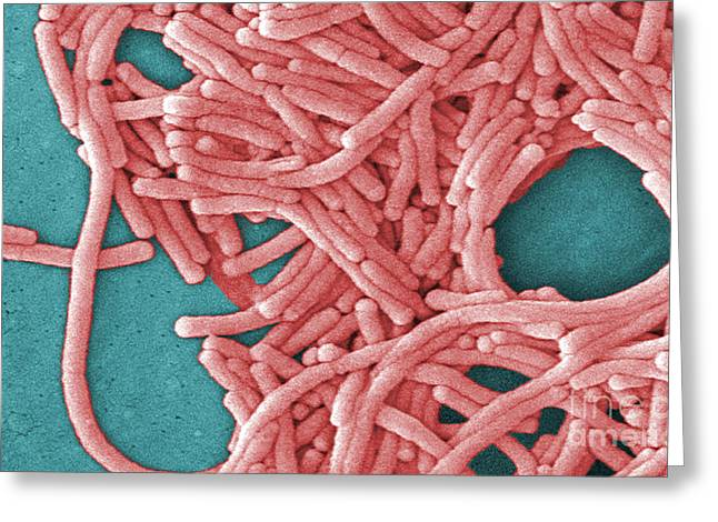 Scanning Electron Micrograph Greeting Cards - Legionella Pneumophila Greeting Card by Science Source