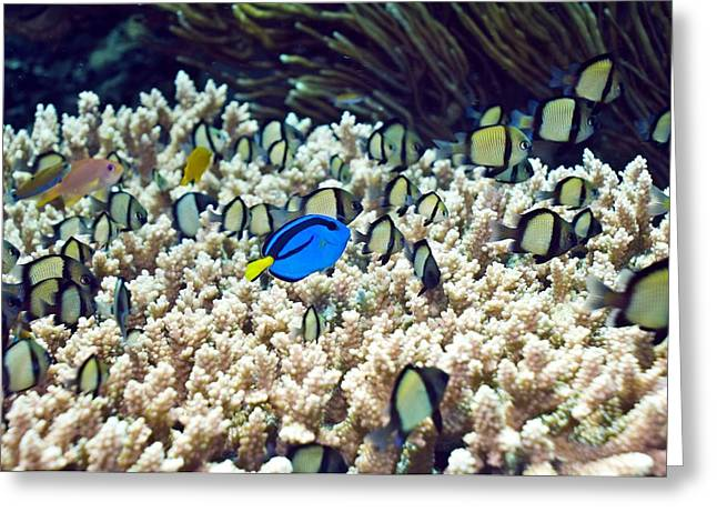Surgeonfish Greeting Cards - Tropical Reef Fish Greeting Card by Georgette Douwma