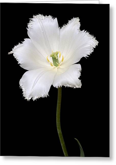 Spring Bulbs Greeting Cards - Tulip (tulipa Gesneriana) Greeting Card by Dr. Nick Kurzenko