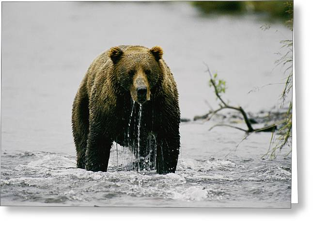 Kodiak Greeting Cards - Untitled Greeting Card by George F. Mobley