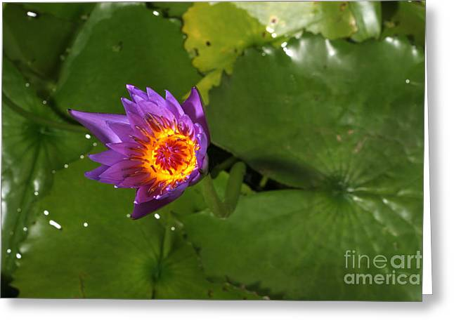 Cape Lily Greeting Cards - Waterlily Opening Part Of A Series Greeting Card by Ted Kinsman
