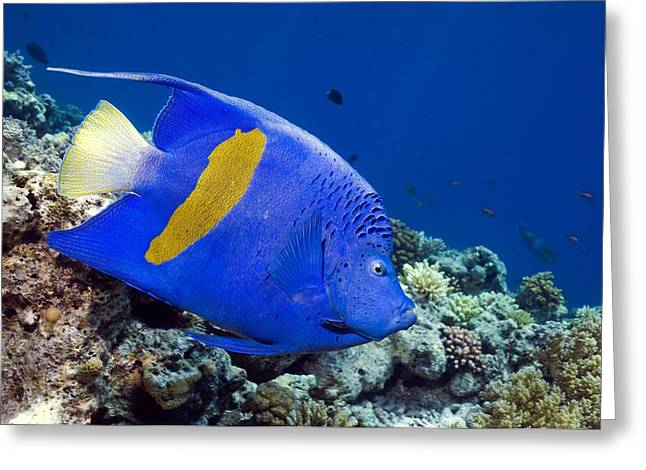 Biology Greeting Cards - Yellowbar Angelfish Greeting Card by Georgette Douwma
