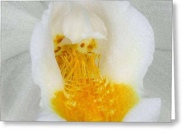 Orchids Greeting Cards - Exotic Orchids of C Ribet Greeting Card by C Ribet