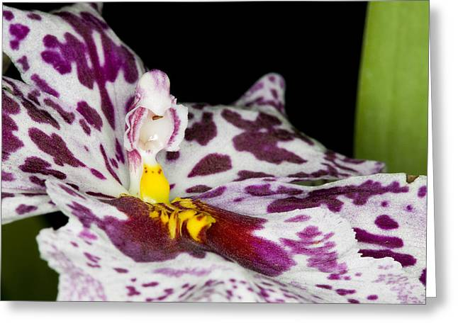 Phallus Greeting Cards - Exotic Orchids of C Ribet Greeting Card by C Ribet