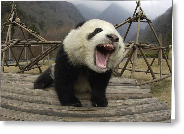 The Nature Center Greeting Cards - Giant Panda Ailuropoda Melanoleuca Greeting Card by Katherine Feng