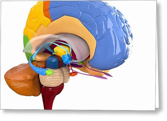 Corpus Callosum Greeting Cards - Human Brain Anatomy, Artwork Greeting Card by Roger Harris
