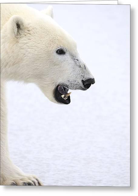 Growling Photographs Greeting Cards - Polar Bear Greeting Card by Richard Wear