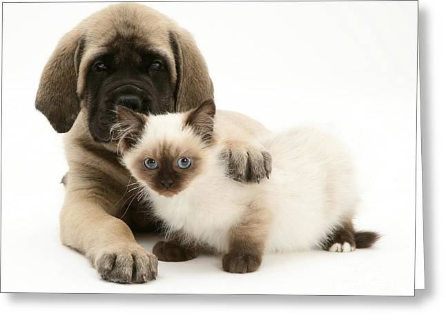 Mastiff Pup Greeting Cards - Puppy And Kitten Greeting Card by Jane Burton