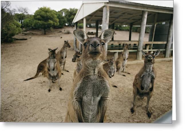 Kangaroo Island Greeting Cards - Untitled Greeting Card by Joe Scherschel