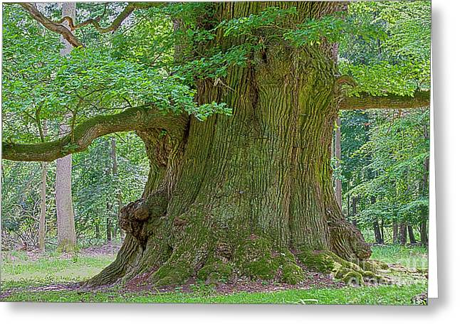 800 Years Old Oak Tree  Greeting Card by Heiko Koehrer-Wagner