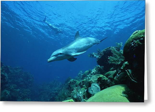 Delphinidae Greeting Cards - Bottlenose Dolphin Tursiops Truncatus Greeting Card by Konrad Wothe