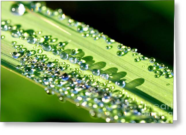 Dewdrops Greeting Cards - Dewdrops on Lemongrass Greeting Card by Thomas R Fletcher