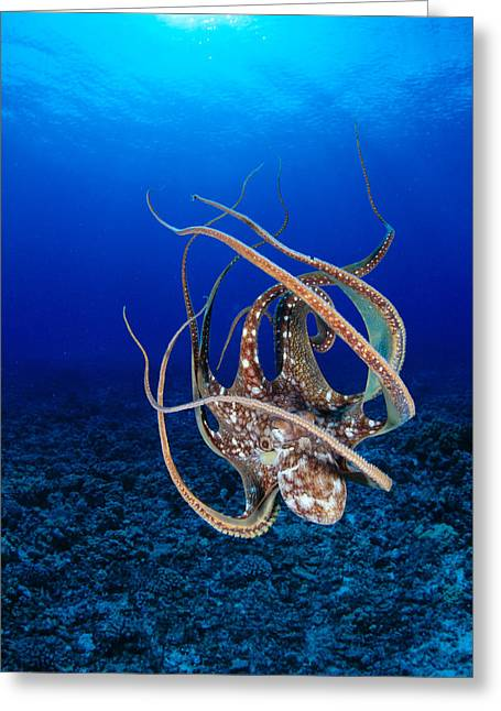 Reef Photos Greeting Cards - Hawaii, Day Octopus Greeting Card by Dave Fleetham - Printscapes
