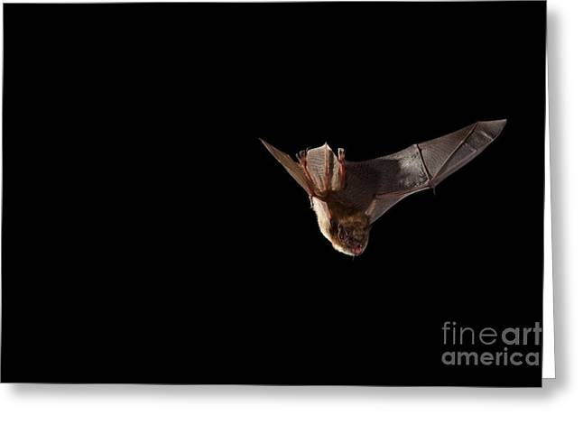 Bat Wings Greeting Cards - Little Brown Bat Greeting Card by Ted Kinsman