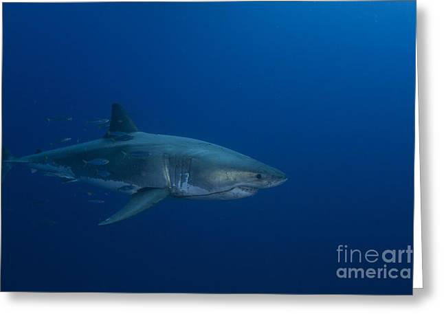 Guadalupe Island Greeting Cards - Male Great White Shark, Guadalupe Greeting Card by Todd Winner