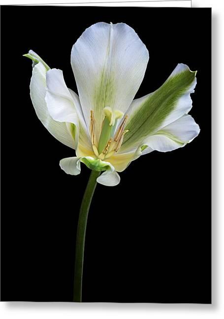 Spring Bulbs Greeting Cards - Tulip (tulipa Gesneriana) Greeting Card by Dr. Nick Kurzenko