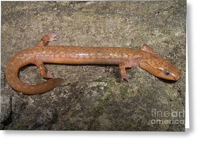 Plethodontidae Greeting Cards - West Virginia Spring Salamander Greeting Card by Dante Fenolio