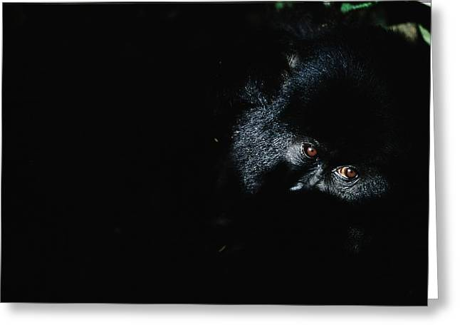Light And Dark Greeting Cards - 95-02-01    Gorilla Gorilla Beringei Greeting Card by Michael Nichols