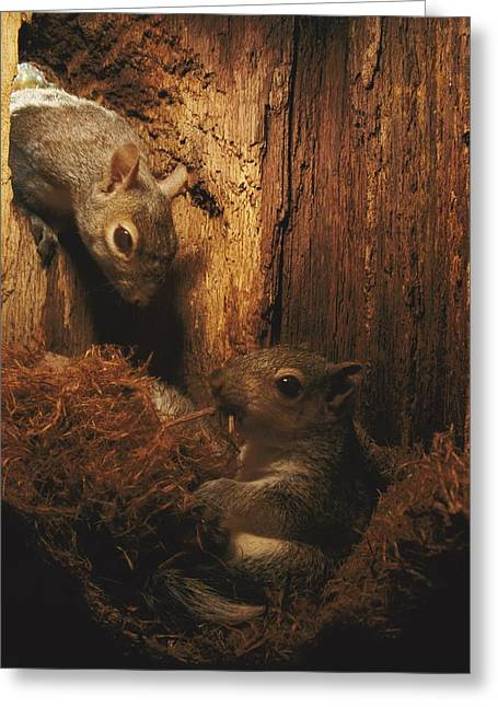 Sciurus Carolinensis Greeting Cards - A A Baby Eastern Gray Squirrel Sciurus Greeting Card by Chris Johns