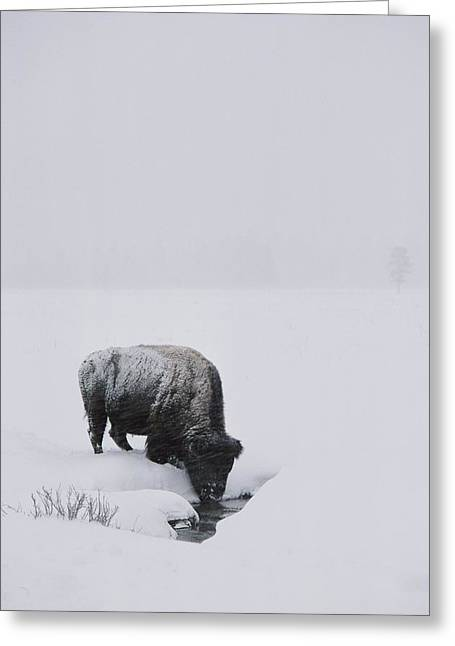 Light And Dark Greeting Cards - A American Bison Bison Bison Finds Greeting Card by Tom Murphy