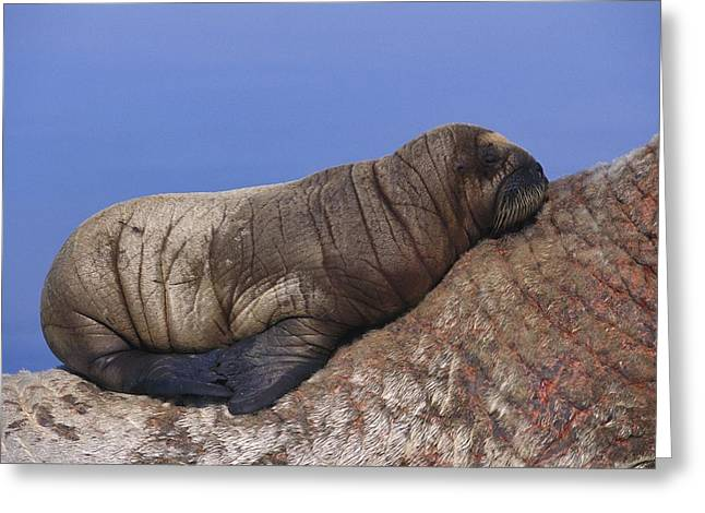 Roost Photographs Greeting Cards - A Baby Atlantic Walrus Rests Greeting Card by Paul Nicklen