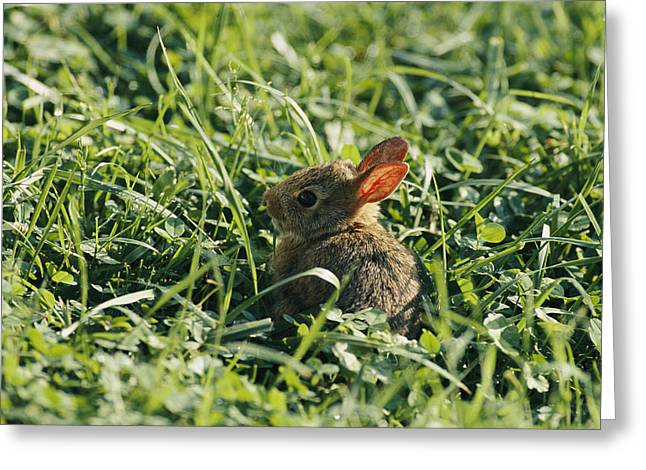 Shenandoah Greeting Cards - A Baby Cottontail Rabbit Sits Among Greeting Card by George F. Mobley