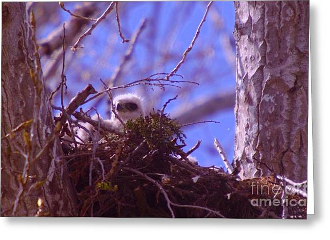 Baby Bird Greeting Cards - A Baby Red Tail Gazing From Its Nest Greeting Card by Jeff  Swan
