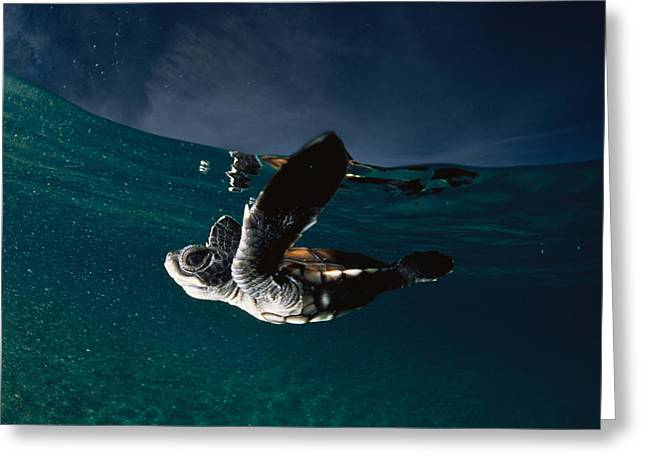 Aquatic Split Level Views Greeting Cards - A Baby Turtle Swims Freely Greeting Card by David Doubilet