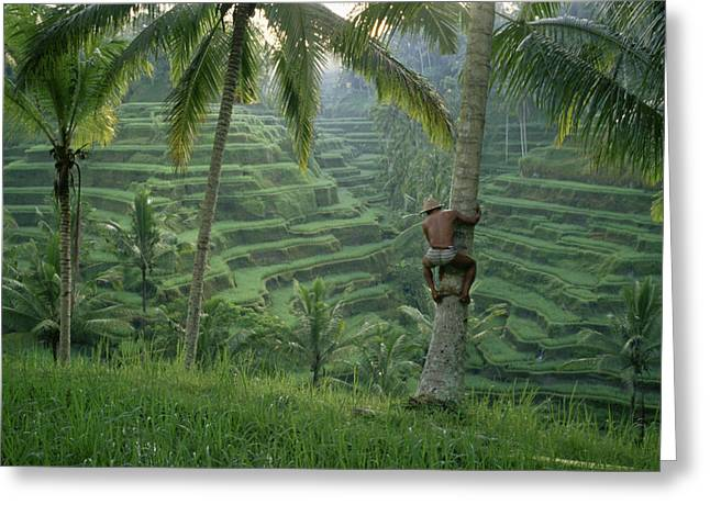 Livelihood Greeting Cards - A Bahasa Scales A Tree To Pick Coconuts Greeting Card by Justin Guariglia