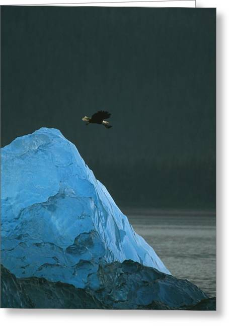 Flying Animal Greeting Cards - A Bald Eagle In Flight Over A Blue Greeting Card by Ralph Lee Hopkins
