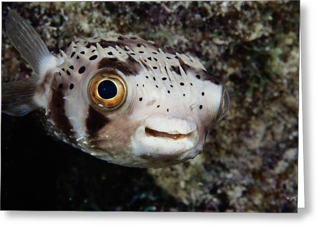 Balloonfish Greeting Cards - A Balloonfish Diodon Holacanthus Greeting Card by George Grall