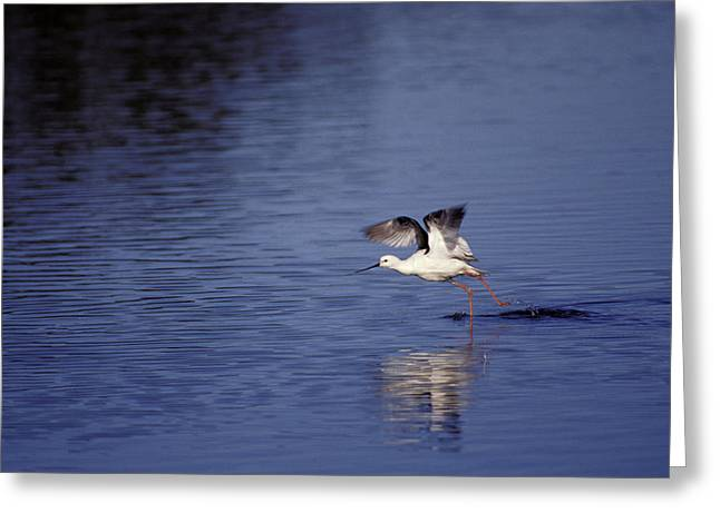 Legs Spread Greeting Cards - A Banded Stilt Running On Water Surface Greeting Card by Jason Edwards