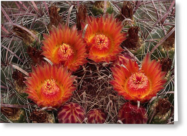 National Geographic - Greeting Cards - A Barrel Cactus Is Blooming Greeting Card by George Grall