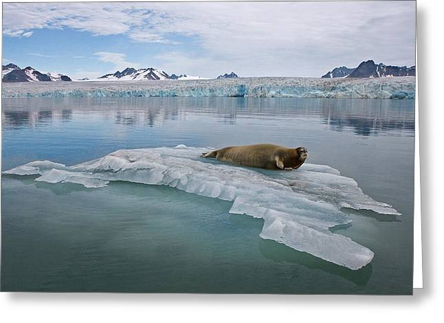 Wildlife Disasters Greeting Cards - A Bearded Seal Resting On Shrinking Sea Greeting Card by Paul Nicklen