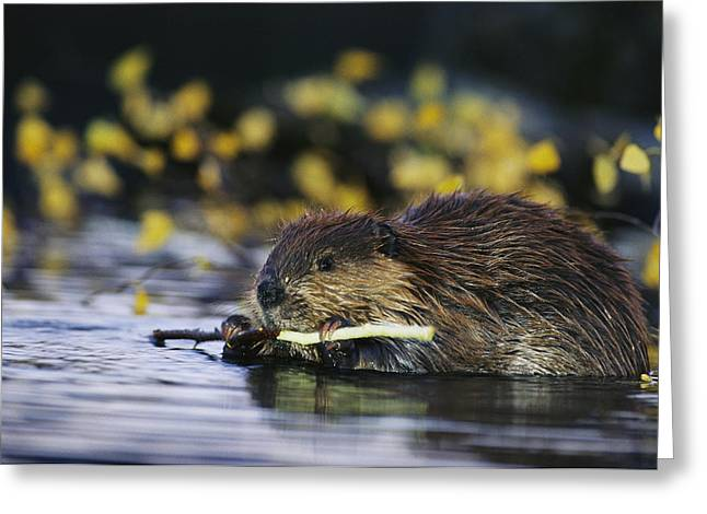 Beaver By Water Greeting Cards - A Beaver Eating The Bark Off Of A Small Greeting Card by Michael S. Quinton