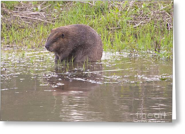 Beaver By Water Greeting Cards - A beaver Greeting Card by Jackie Popp