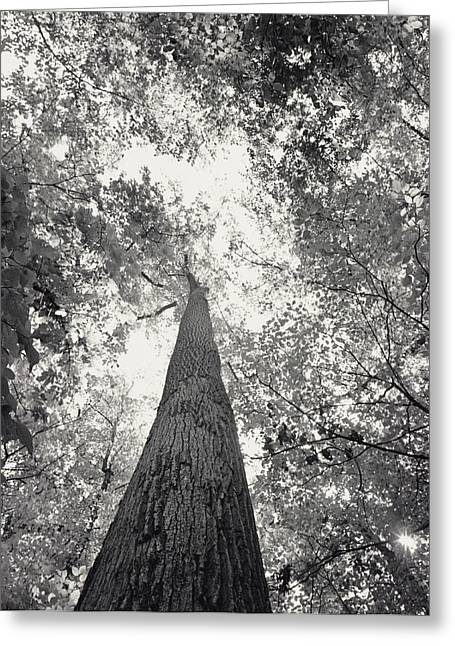 Forests And Forestry Greeting Cards - A Black And White View Looking Greeting Card by Sam Kittner