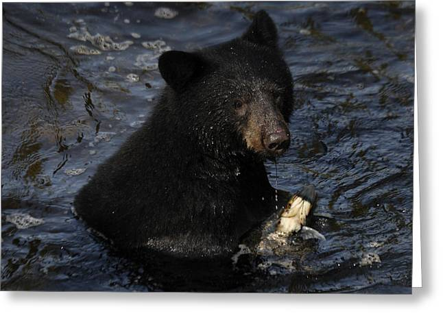 Tongass Greeting Cards - A Black Bear Feeds On Salmon In Anan Greeting Card by Melissa Farlow